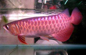 Một chú cá rồng đắt nhất Hà nội. Ảnh: VNN