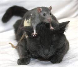Chuột vuốt râu Mèo. Ảnh: internet.