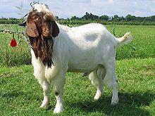 Mời anh em chọn... Goat-boerbok