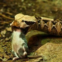 Ngoài đời rắn đâu sợ chuột. Ảnh: internet