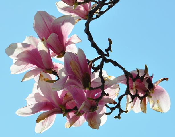 Magnolia. Ảnh: HM