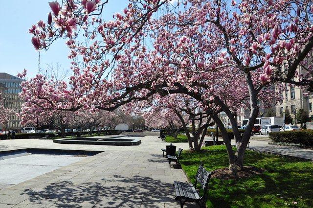 Hoa magnolia trong công viên. Ảnh: HM
