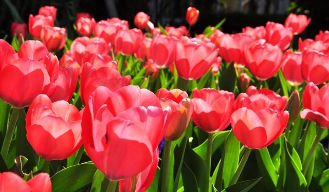Tulip trên đường Wisconsin. Ảnh: HM