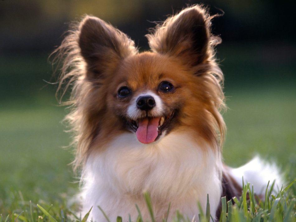 Pupy Dog