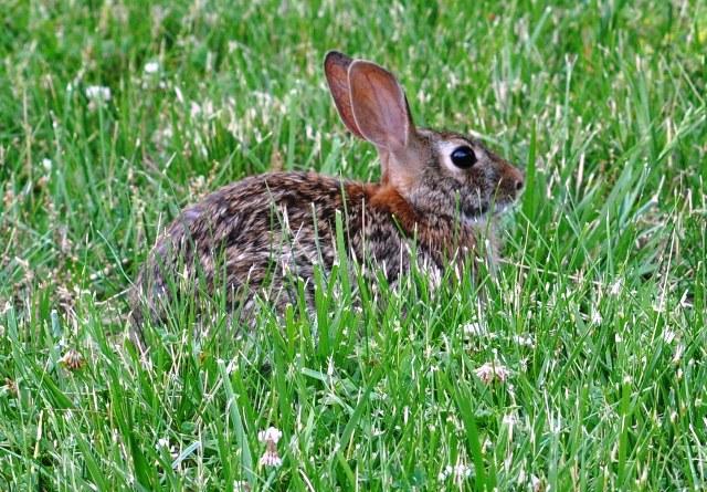 Một chú thỏ tới gần ko thèm chạy. Ảnh; HM