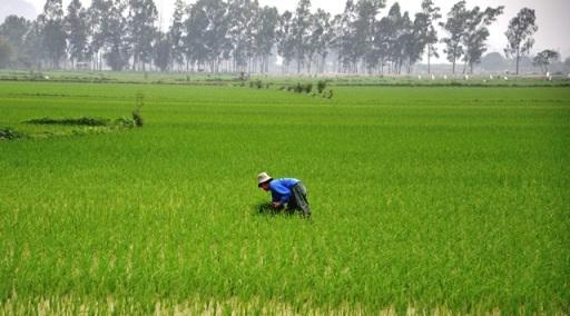 Vất vả nhà nông Hoa Lư bắt sâu trên đồng.  Ảnh: HM