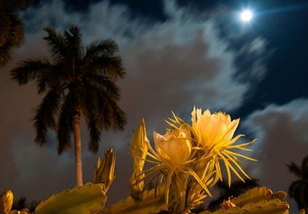 Hoa quỳnh trong đêm. Ảnh: internet