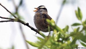 Đừng nghe chim hót hay. Ảnh: Internet
