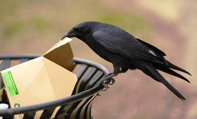 Qụa đen kiếm ăn. Ảnh: HM