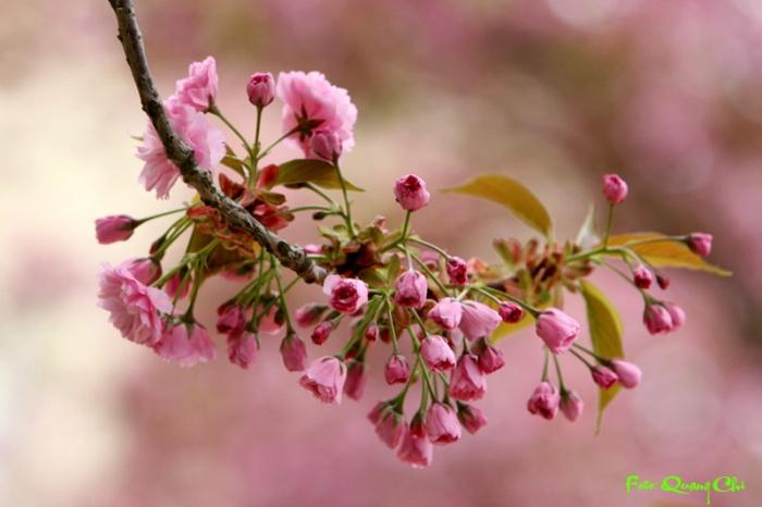 Hé nở mùa xuân. Ảnh: Quang Chí.