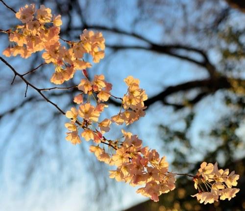 Tặng bà con hoa anh đào Nhật. Ảnh: HM