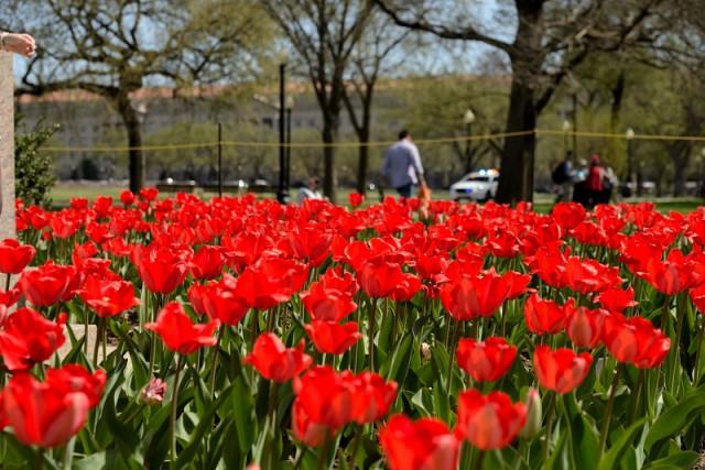 Hoa tulip đỏ ở DC. Ảnh: HM