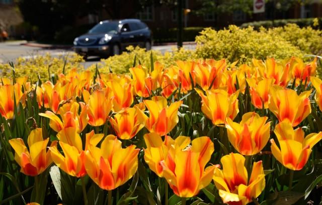 Tulip vàng sọc đỏ. Ảnh: HM