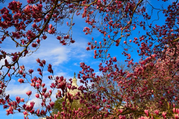 Magnolia ở Capitol Hill. Ảnh: HM
