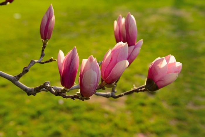 Nụ hoa magnolia cuối cùng. Ảnh: HM