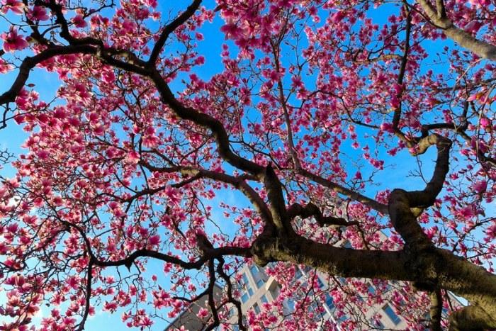 Rực rỡ magnolia. Ảnh: HM