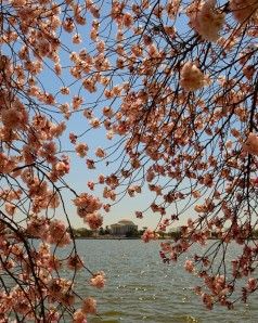 Cherry Blossom. Ảnh: HM