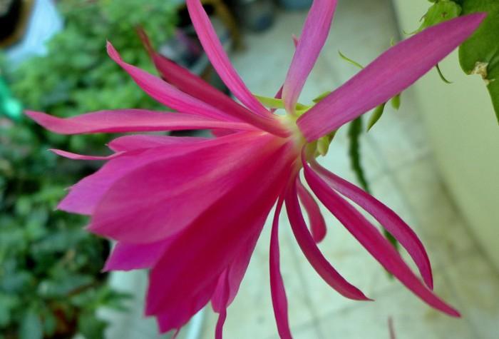 Tặng các bạn bông hoa Quỳnh mới chụp ở nhà bạn bên Maryland. Ảnh: HM
