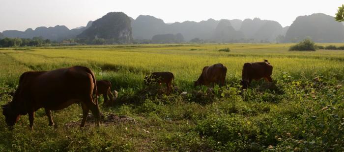Lúa vàng Bích Động - Ninh Bình. Ảnh: HM